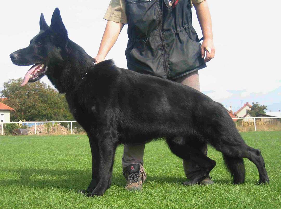 German Shepherd Breeders - Denali Kennels - Our Girls